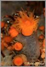 Astroides Calycularis ph Frixa