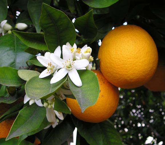 OrangeBloss_wb arance